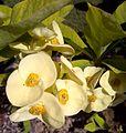 Euphorbia milii-1.jpg