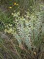 Euphorbia paralias 003.JPG