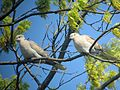 Eurasian Collared Dove - Flickr - GregTheBusker.jpg