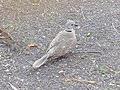 Eurasian collared dove 2018 002.jpg