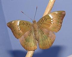 240px euthalia aconthea   baron 08