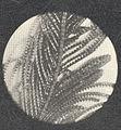 FMIB 52731 Aglaophemia struthloides, magnified.jpeg