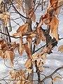 Fagus grandifolia CT2.jpg