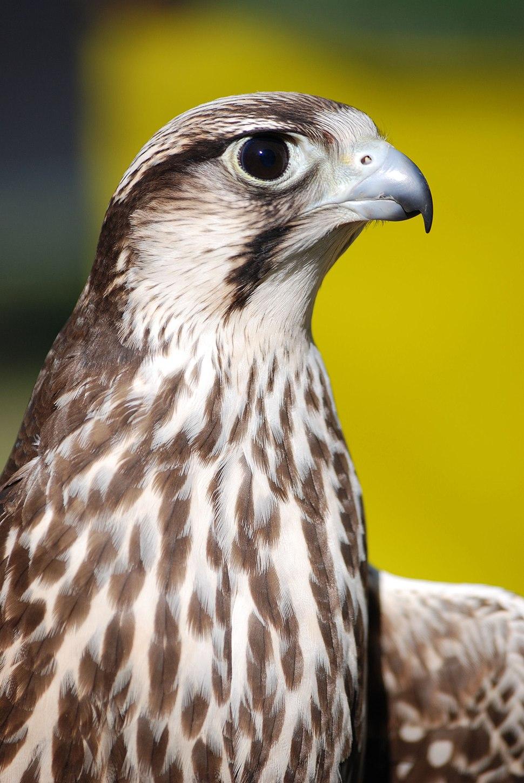 Falco biarmicus 001