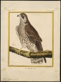 Falco peregrinus - 1700-1880 - Print - Iconographia Zoologica - Special Collections University of Amsterdam - UBA01 IZ18200142.tif
