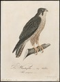 Falco peregrinus - 1800-1812 - Print - Iconographia Zoologica - Special Collections University of Amsterdam - UBA01 IZ18200134.tif