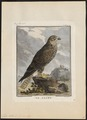 Falco saker - 1700-1880 - Print - Iconographia Zoologica - Special Collections University of Amsterdam - UBA01 IZ18200095.tif