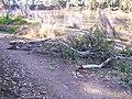 Fallen Eucalyptus camaldulensis limbs.jpg