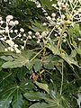 Fatsia japonica BotGardBln1105PlantWithInflorescencesLeaves.JPG