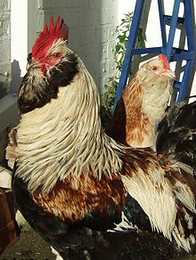 List of chicken breeds - Wikipedia