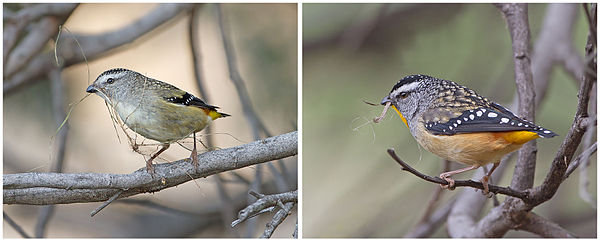 Pair of Spotted Pardalote