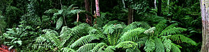 Cann River, Victoria - Image: Ferns near cann river panorama