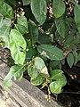Ficus Sp 25.jpg