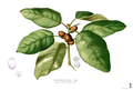 Ficus pumila Blanco1.203.png