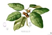 19th century painting of Ficus pilosa