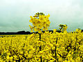 Field of oilseed rape.jpg