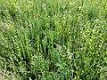 Filago vulgaris sl294.jpg