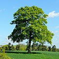 Fine specimen oak - geograph.org.uk - 1280462.jpg