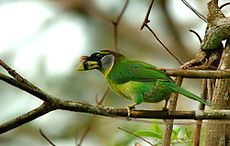 Fire tufted barbet.jpg