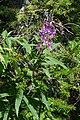 Fireweed (Chamaenerion angustifolium) - Springdale, Newfoundland 2019-08-16.jpg