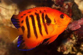 Pomacanthidae - Image: Flame angelfish (Centropyge loricula)