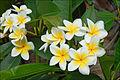 Fleurs de Frangipanier (Île de la Réunion) (4125134278).jpg