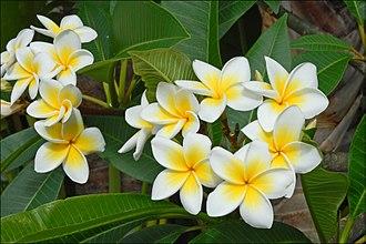 Plumeria rubra - Image: Fleurs de Frangipanier (Île de la Réunion) (4125134278)