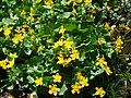 Fleurs sur le Vitocha 2.JPG
