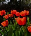 Flickr - Per Ola Wiberg ~ mostly away - Tulips torr pensel ~ dry pencil.jpg