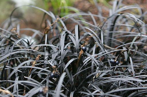 Flickr - brewbooks - Black Mondo Grass in our winter garden