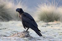 Flickr - don macauley - Corvus crassirostris.jpg