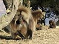 Flickr - don macauley - Theropithecus gelada 5.jpg