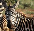 Flickr - don macauley - Zebra.jpg