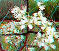 Flickr - jimf0390 - JimF 04-27-10-0047a wild plum blossoms.jpg