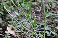 Flora della Sardegna 250 (09).jpg