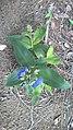 Flores de uma Planta, encontrada na Mata Cipó Derivação da Mata Atlântica-BA.jpg