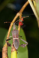 Florida leaf footed bug-1.jpg