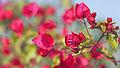 Flowers in India (11620178033).jpg