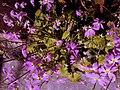 Flowers of Darjeeling.jpg