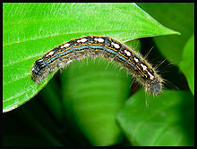 Forest Tent Caterpillar.jpg