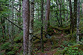 Forest in Yatsugatake 07.jpg