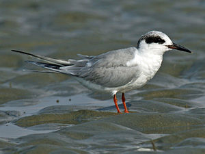 English: Forster's Tern (Sterna forsteri) at S...