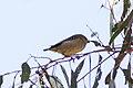 Forty-spotted Pardalote (Pardalotus quadragintus) (8079659314).jpg