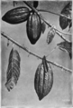 Fotg cocoa d043 how the cocoa grows showing leaf flower and fruit.png