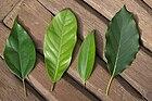 Four leaves of Lauraceae.JPG