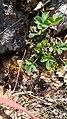 Fragaria vesca familia (Rosaceae) 01.jpg