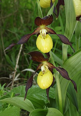 Frauenschuh Cypripedium calceolus.jpg