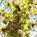 Fraxinus angustifolia, bloeiwyses en bye, e, Tweeling.jpg