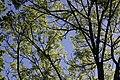 Fraxinus excelsior (41123261375).jpg