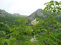 Fraxinus ornus Bulgaria 1.jpg
